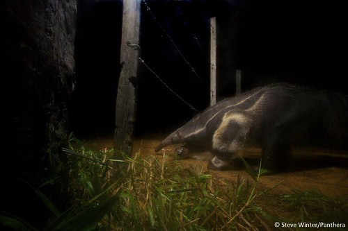 Camera trap image of a giant anteater | by Panthera Cats
