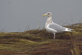 glaucous winged gull | by fog and swell