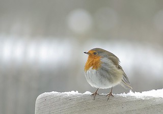 Chilly robin | by frank.hs.- slowly recovering.