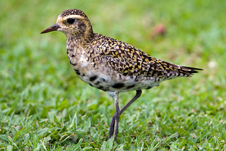 Pacific Golden Plover by Steve Gifford | by Steve Gifford - IN