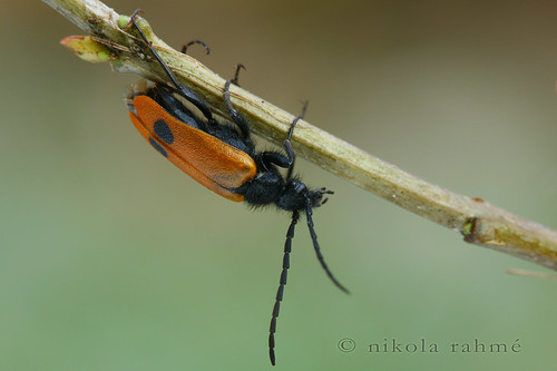 Early blister beetle - Apalus bimaculatus | by Nikola Rahme