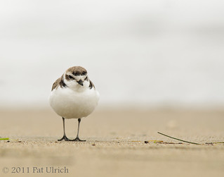 Western snowy plover (1 of 2 for today) | by Pat Ulrich
