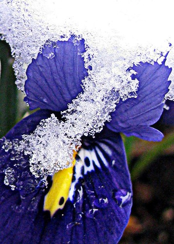 02-23-11 Icy Iris | by roswellsgirl