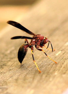 wasp | by midgetinvasion