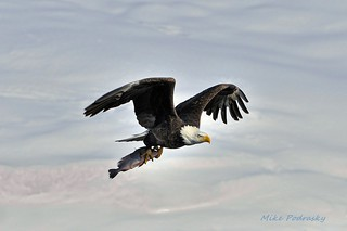 Bald Eagle flying over the snow. Explored | by Mike Podrasky's photography