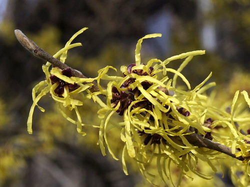 Hamamelis x intermedia 'Pallida' | by Tie Guy II