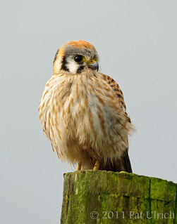 Female American Kestrel | by Pat Ulrich