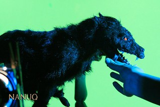 Nanuq Wolf against green screen | by CharlesPieperPuppets