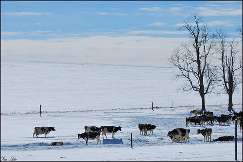 Moooving Through the Snow...(explore) | by K-N-R Photography