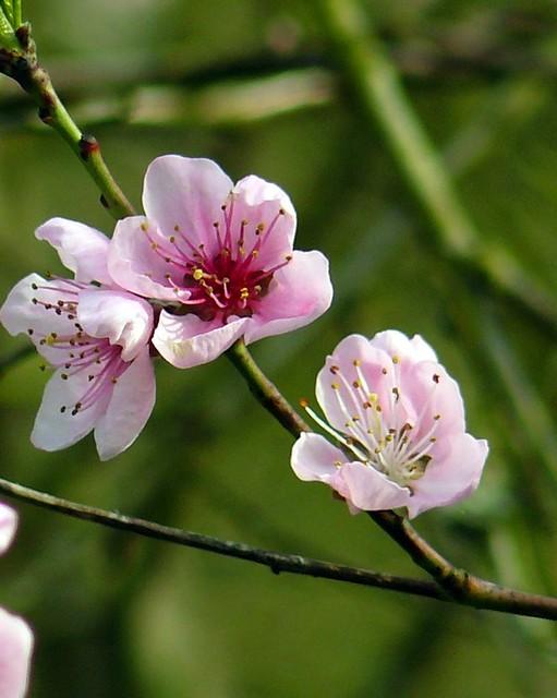 Fleur De Pecher 01 Avril 2011 Fleurs De Pecher Flickr