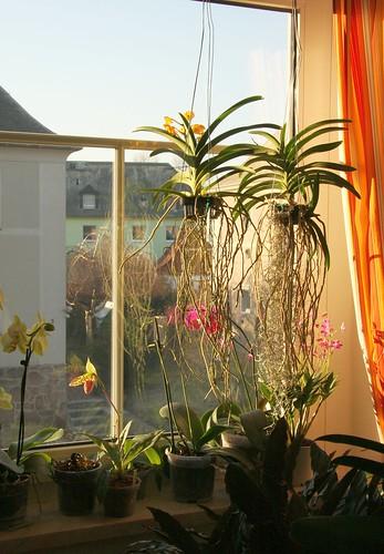 vanda orchideen februar 2011 canon eos 40d ef s 17 85mm. Black Bedroom Furniture Sets. Home Design Ideas