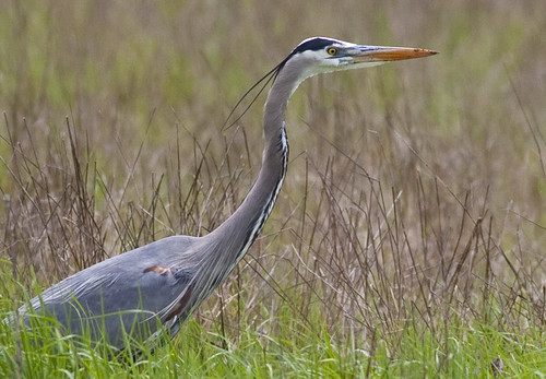 Great Blue Heron | by glenngould