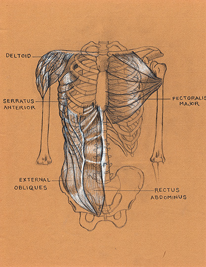jesse young's human anatomy drawing of the muscles of the … | flickr, Muscles