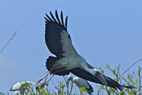 Openbilled Stork about to land! | by Suri JV (on and off)