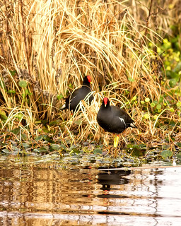 Common Moorhen | by Steve Russell Photography