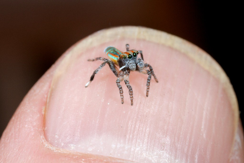Maratus Volans - possibly the most profound spider I've ever ...