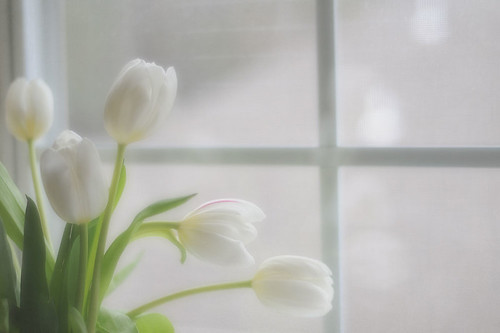 Last White Tulip for a few days | by snolic...linda
