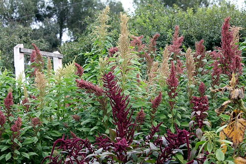 amaranth-es-ess | by various brennemans