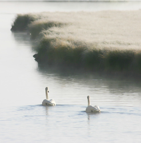 Trumpeter Swans in the morning fog | by Team Hymas