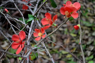 little red blossoms | by .rachel.luo.