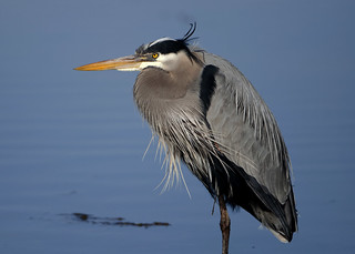 Great Blue Heron | by Dah Professor