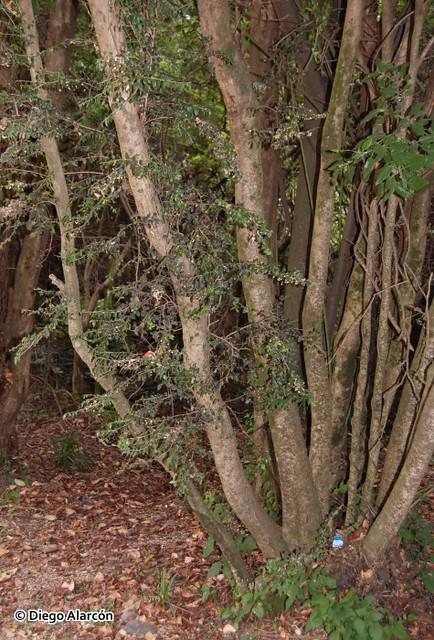 Árbol joven de Chequén, Luma chequen