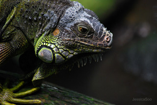 Iguana | by strongfaith