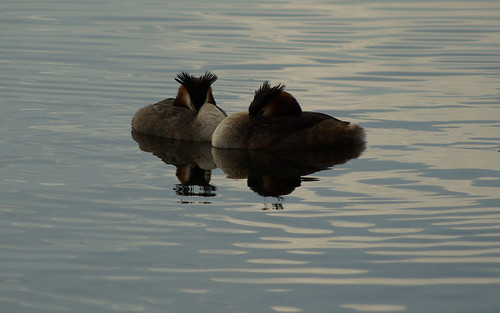 Great Crested Grebes | by frederick4life2004