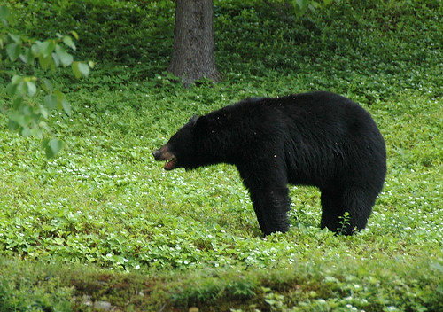 Black Bear | by Great Glen Trails
