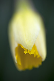 Wild Daffodil (Narcissus pseudonarcissus) | by blackartz