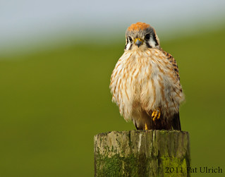 Friendly kestrel | by Pat Ulrich
