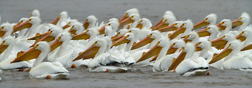 American White Pelicans by Steve Gifford | by Steve Gifford - IN