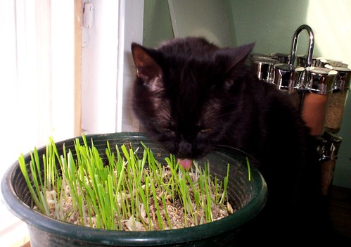 Trying the cat grass. | by dog of the forest
