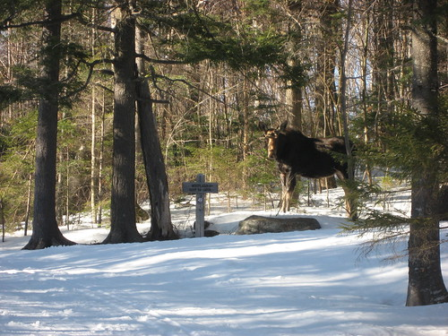Moose on Drangon Corridor | by Great Glen Trails