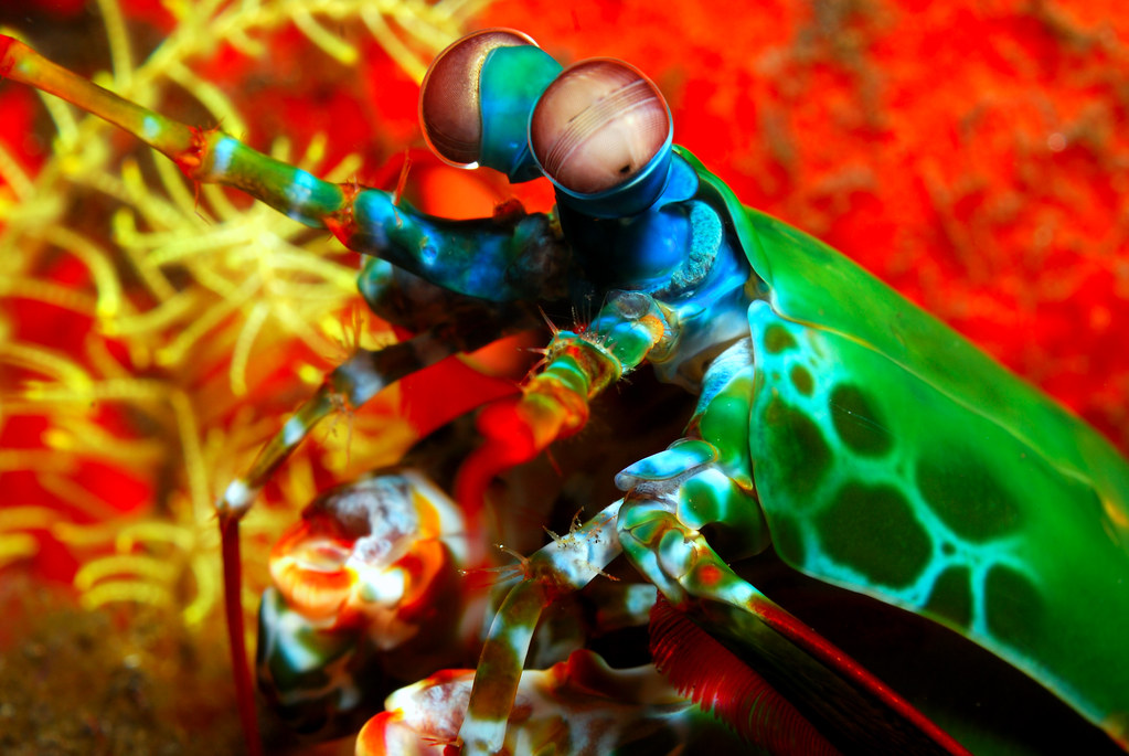 Peacock Mantis Shrimp | Normally you only see these crazy cr… | Flickr