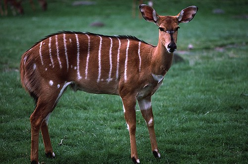 kudu antelope at the Bronx Zoo | by glrosquet