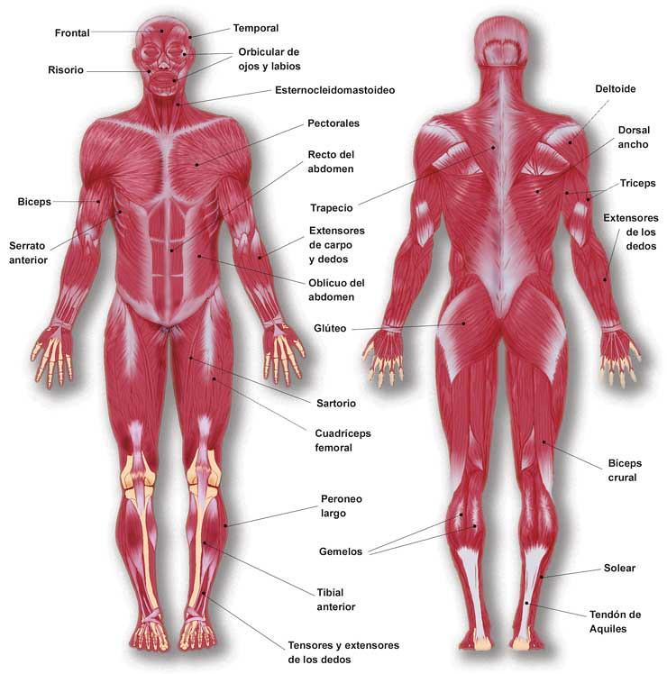 sistema muscular | miguelhtangel | Flickr