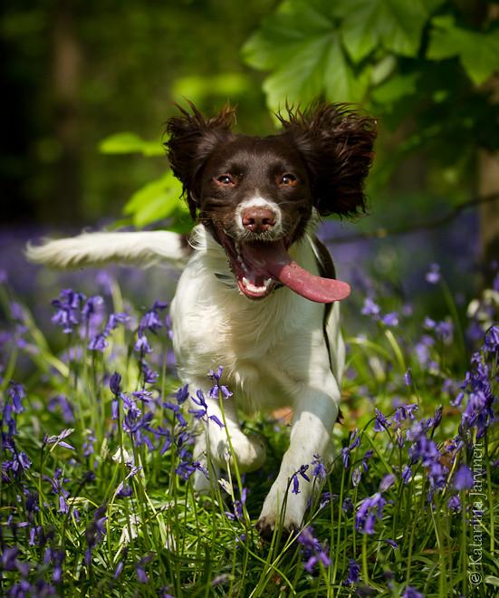 Image result for spring animals springer spaniel
