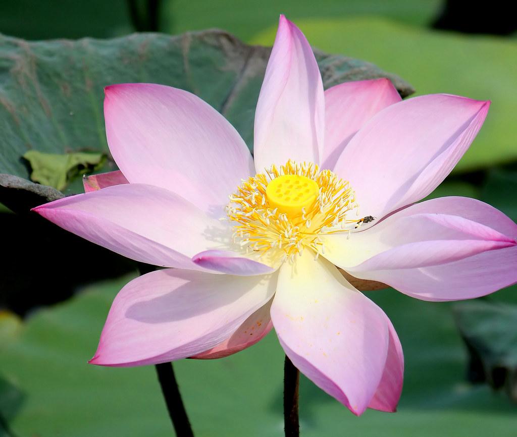 Lotus canon 50d michel van der linde flickr lotus by thai pix wildlife photography izmirmasajfo
