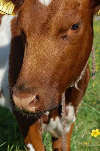 Cutest cow | by Ranveig Marie Photography