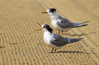 Lesser Crested Tern : I'd like to teach the world to sing .... | by Clement Tang **busy**
