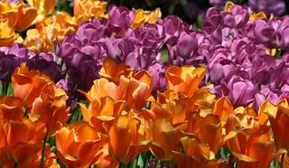 tulips lighting sun the orange tulip is lighting sun a flickr