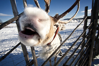 Rudolf the white-nosed reindeer | by fusionfan