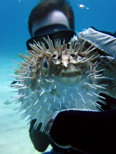 Puffer Fish | by ciamabue