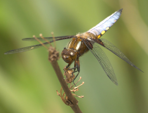 Male Broad-Bodied Chaser (Libellula depressa) | by Honey Monster