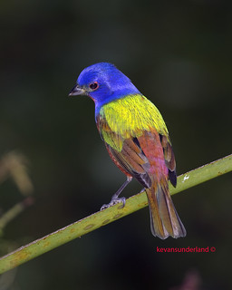 Painted Bunting Male Okeeheelee County Park | by kevansunderland