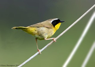Common Yellowthroat | by Garebear400