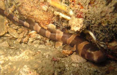 Longtail carpet shark, Bamboo shark