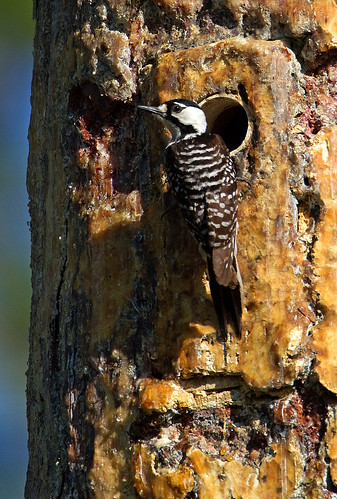 RED-COCKADED WOODPECKER006 | by Robert Strickland