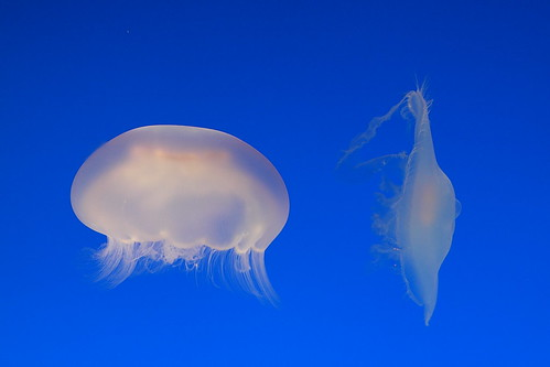 Moon Jellyfish Pair | by M.Christian